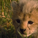 Baby Cheetah Live Wallpaper